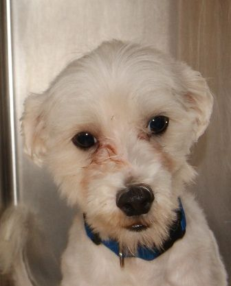 Phoenix Maltese Mix 1 Year Male Find Me On Pawschicago Org