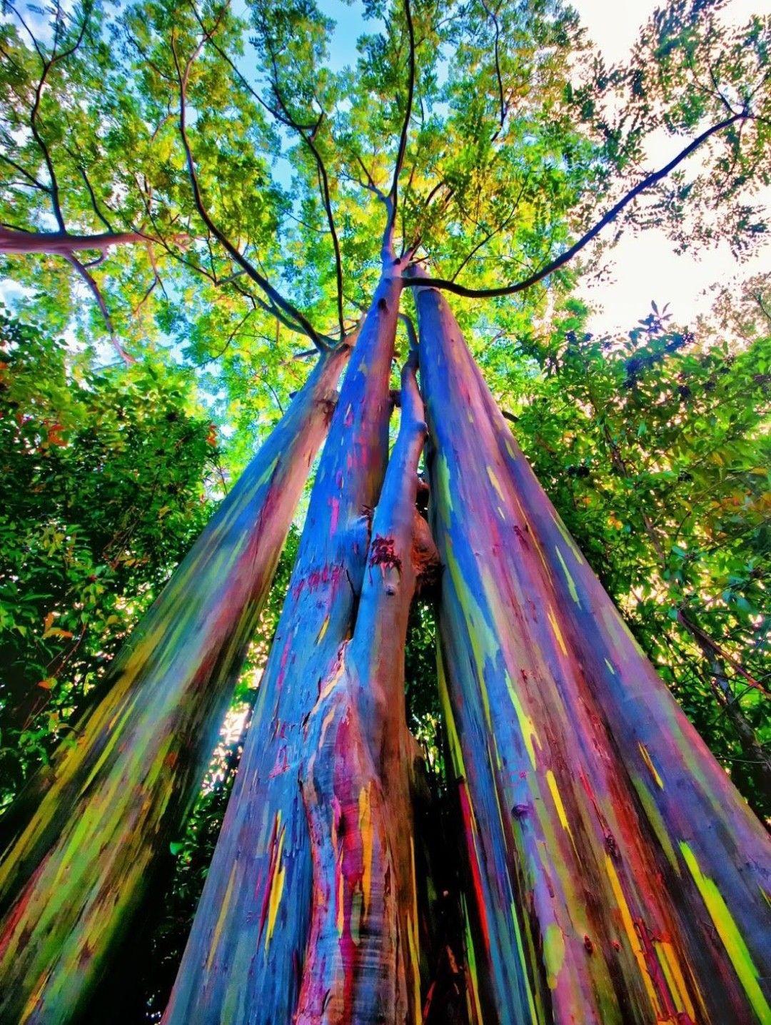 Rainbow Eucalyptus. I mean.. why not??? Rainbow