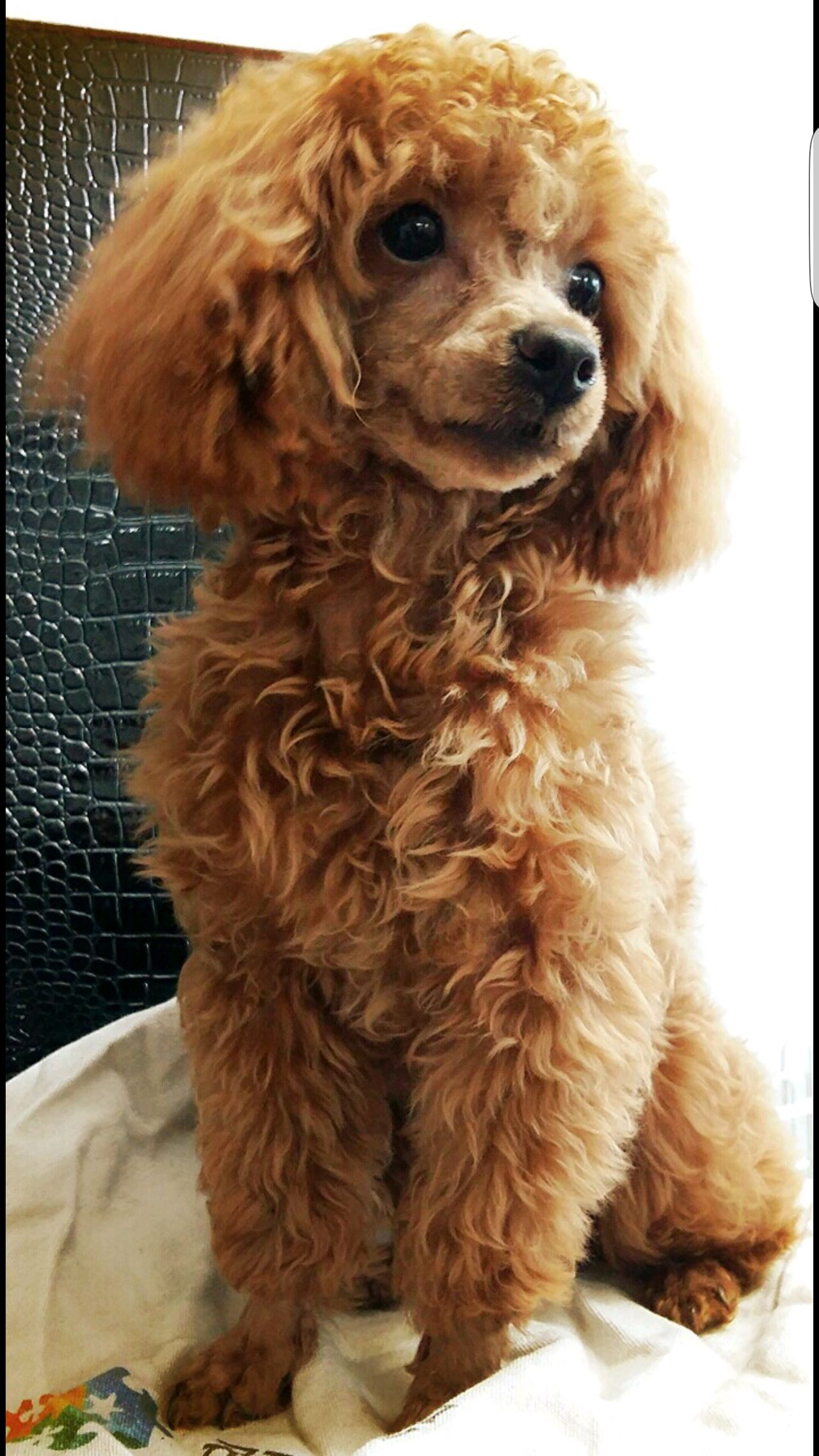 Possible Sister For Bleu And In This Color Toy Poodle