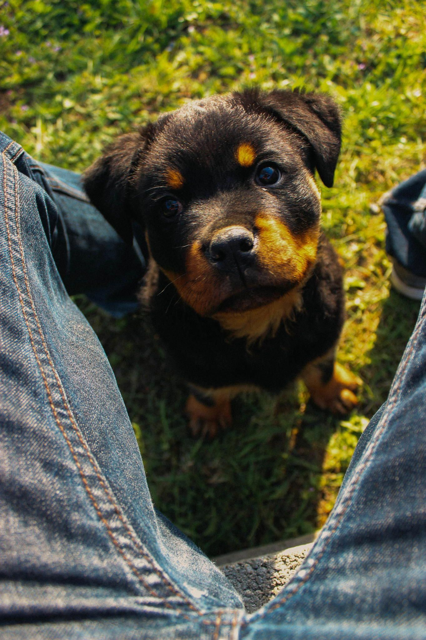 Some Of The Things I Love About The Rottweiler Rottweilerfans
