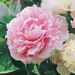 Pink Peony Full Sun Partial Shade Zone 3 8 Height Up To 3 Feet