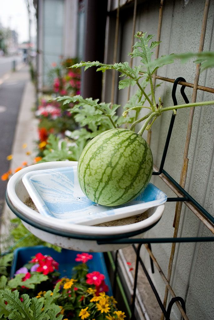 Container watermelons how to grow watermelon in for Limited space gardening ideas
