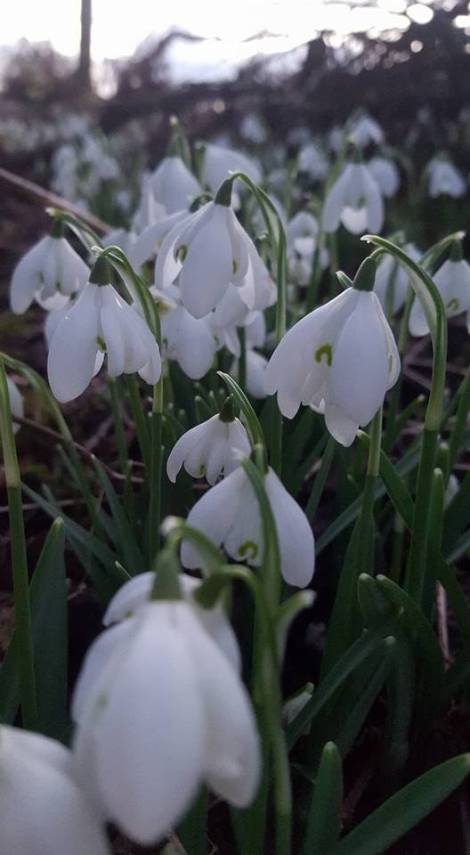 Snowdrops Gealagan Lair Galanthus Nivalis Latin Their Botanical Name Is A Derivative Of Greek For Milk And Flower And Flowers Beautiful Flowers Floral