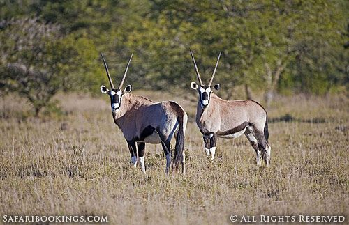 Two gemsbok stare at the camera @ Amakhala Game Reserve in South Africa. For a #Amakhala travel guide visit www.safaribookings.com/amakhala. With best time to visit, reviews, photos and more!