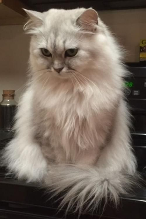 Lulu Is An Adoptable Persian Searching For A Forever Family Near