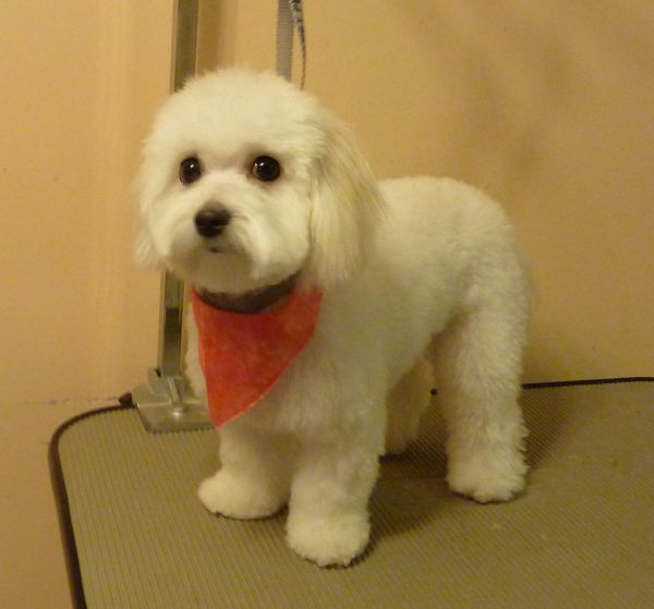 Pin On Poodles Bichon Grooming Before After