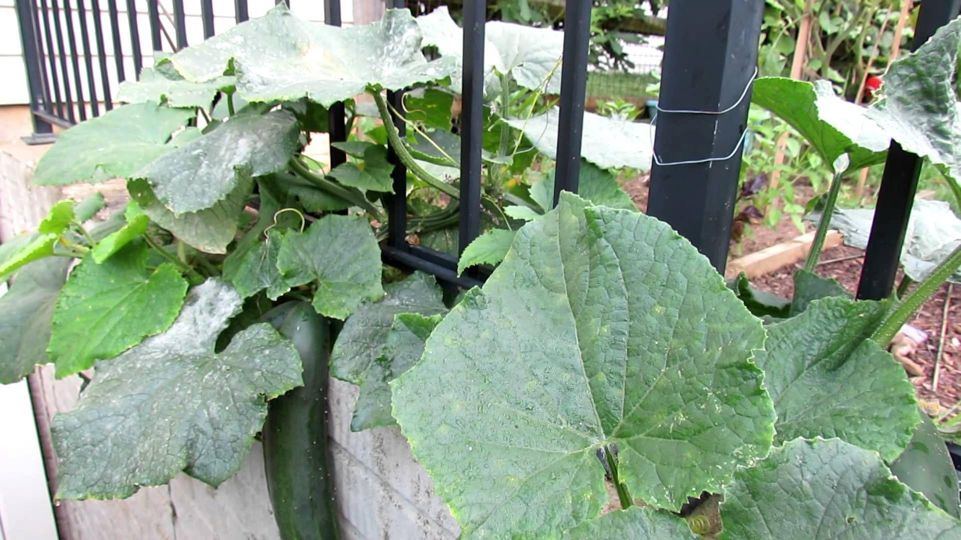 9b4c23fab07b8d55b82608a29e8f7127 - How To Get Rid Of White Mold On Cucumber Plants