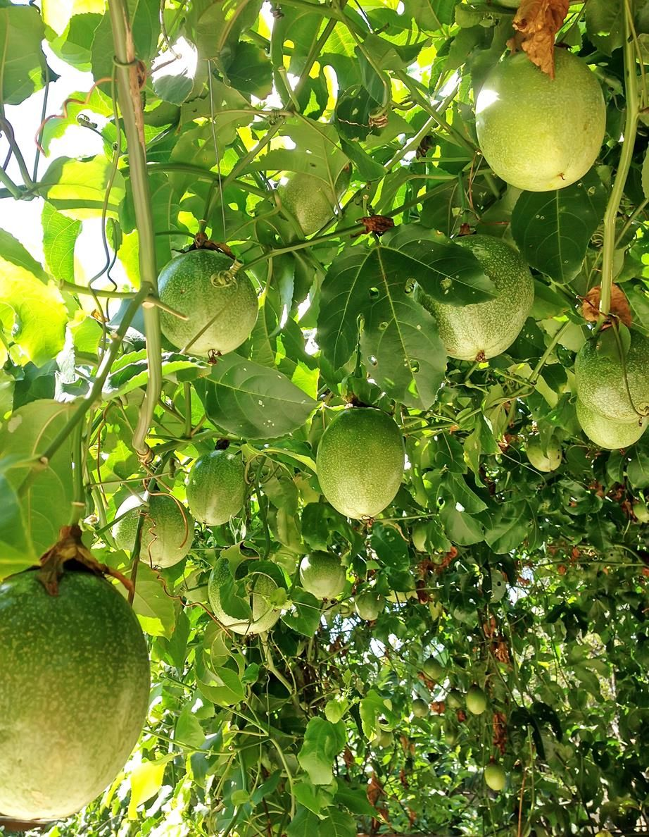 How To Grow Passionfruit From Seed Passion Fruit Plant Growing Passion Fruit Fruit Trees