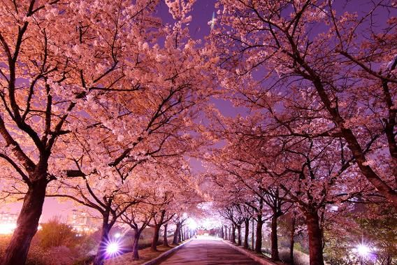Spring S Almost Here The Most Amazing Cherry Blossom Viewing Around The World Cherry Blossom Wallpaper Japanese Cherry Blossom Japanese Cherry