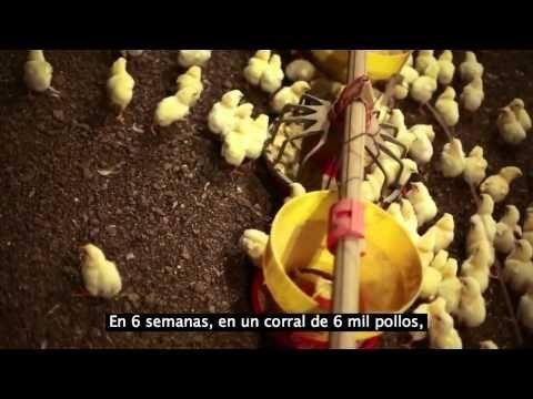 Criadero de pollos.. La cruda realidad