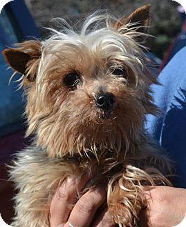 Clarkston Mi Yorkie Yorkshire Terrier Meet Lee Lee A Dog For Adoption Http Www Adopt Yorkshire Terrier Dog Adoption Yorkie Yorkshire Terrier