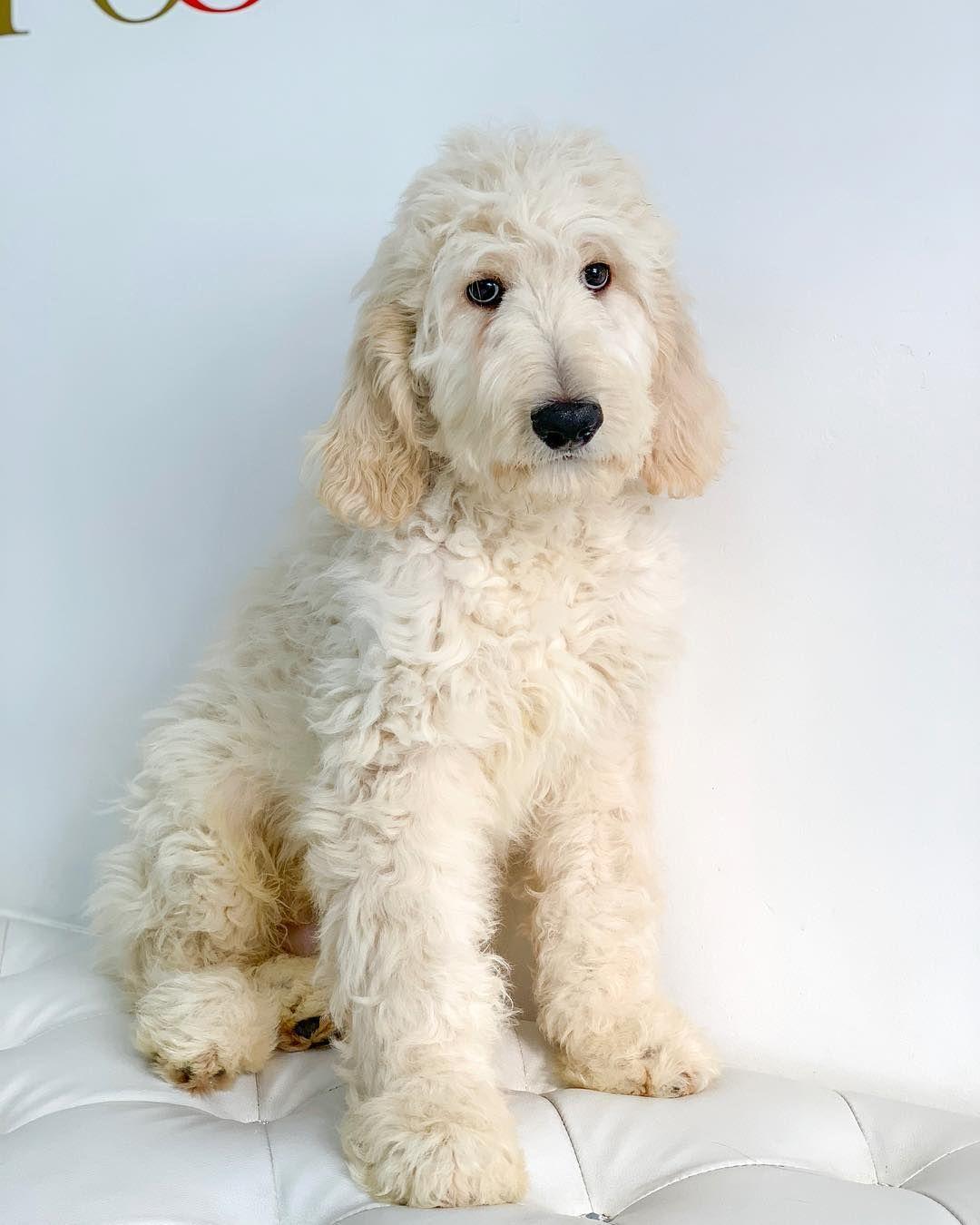 Cute Golden Doodle Puppy Goldendoodle Puppy Golden Doodle Dog Doodle Puppy