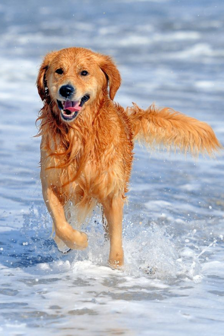 Young Golden Retriever Running On The Beach Goldenretriever In 2020 Golden Retriever Retriever Dogs And Puppies