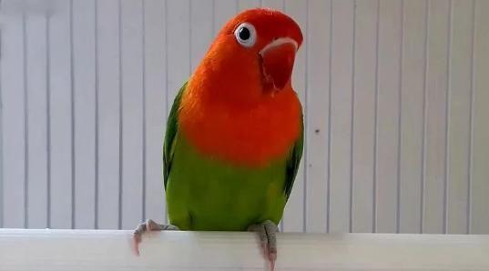 Jenis Jenis Makanan Yang Bagus Untuk Suara Burung Kenari Pet