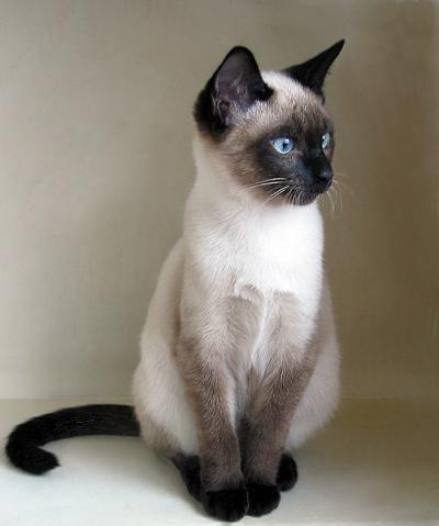 Пин от пользователя Mituru Tukahara на доске Inspiration   Сиамские кошки, Самые милые животные, Сумасшедшие кошки