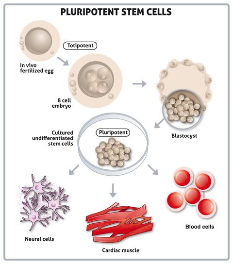 The great advances in technology of the human embryonic stem cell research
