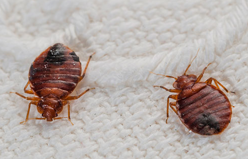 Bed Bugs (With images) Bed bug bites, Bed bugs treatment