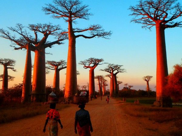 Avenue of the Baobabs – the Most Beautiful Road in Madagascar | Places to See In Your Lifetime