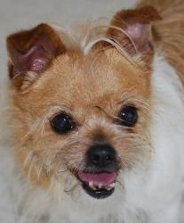 Adopt Gracie On Chihuahua Chihuahua Dogs Dogs
