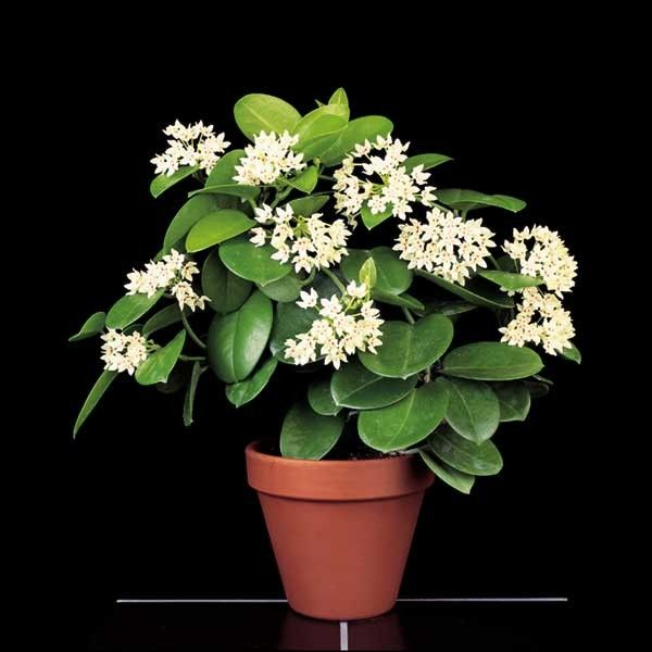 Wax Plant u0027Subspeciesu0027 (Hoya australis) - H - Browse by Common - tropische pflanzen im garten