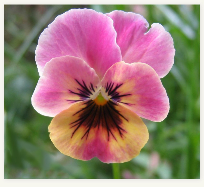 pink pansy | PANSIES & VIOLAS | Pinterest | Pansies ...