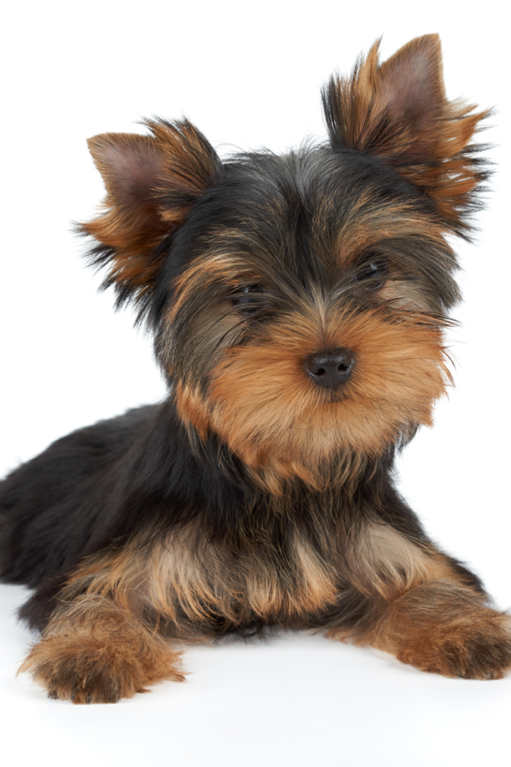 One Puppy Of The Yorkshire Terrier With Tilted Head On White Yorkshireterrier Yorkshire Terrier Puppies Yorkie Yorkshire Terrier