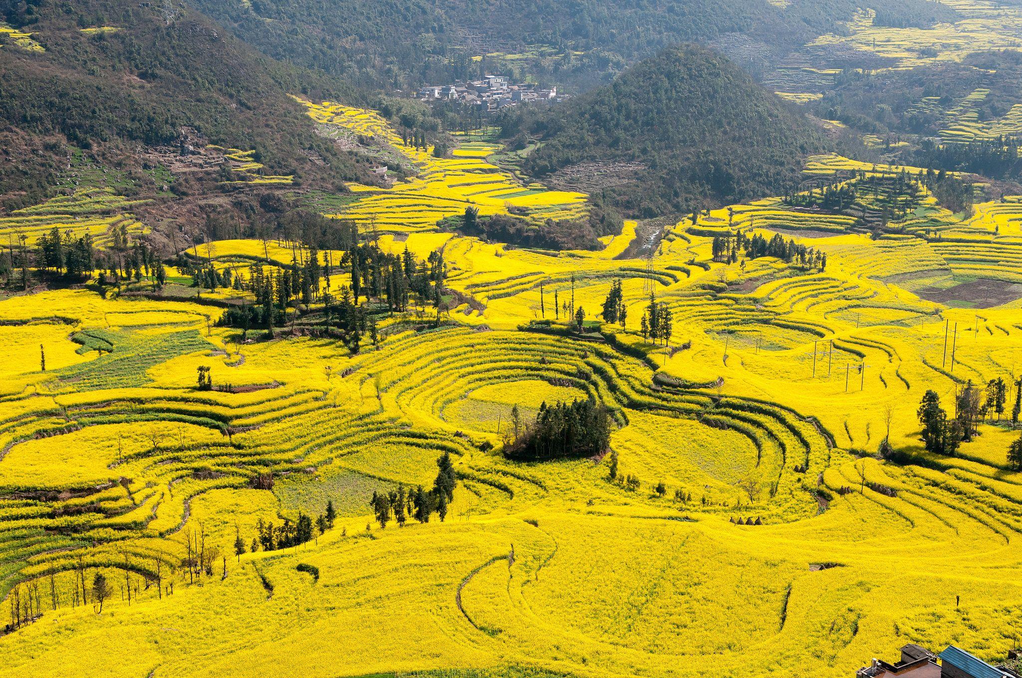 Canola Flower Field In China 1920x1200 Beautiful Wallpaper