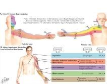 Dermatomes and Myotomes of Upper Limb | cervical spine ... Upper Extremity Myotomes