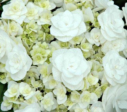 Wedding gown hydrangea.. part shade