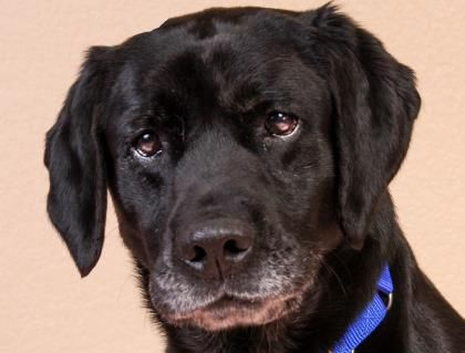 Meet Westin A 7 Years 5 Months Retriever Labrador Available For Adoption In Colorado Springs Co Dog Facts Puppy Adoption Puppy Mill Rescue
