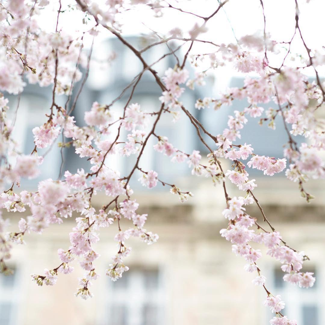 Georgianna Lane On Instagram The Very First Cherry Trees To Bloom In Paris Are Prunus Autumnalis Rosea This One Is In Parc Paris Flowers Bloom Cherry Tree