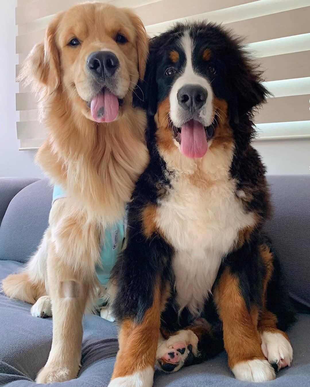 36 7k 次赞 557 条评论 Golden Retrievers Retrieverpuppies 在 Instagram 发布 Tag Ya Best Friend Gold In 2020 Golden Retriever Cute Dogs And Puppies Dogs And Puppies