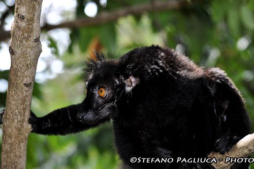 Lemure nero