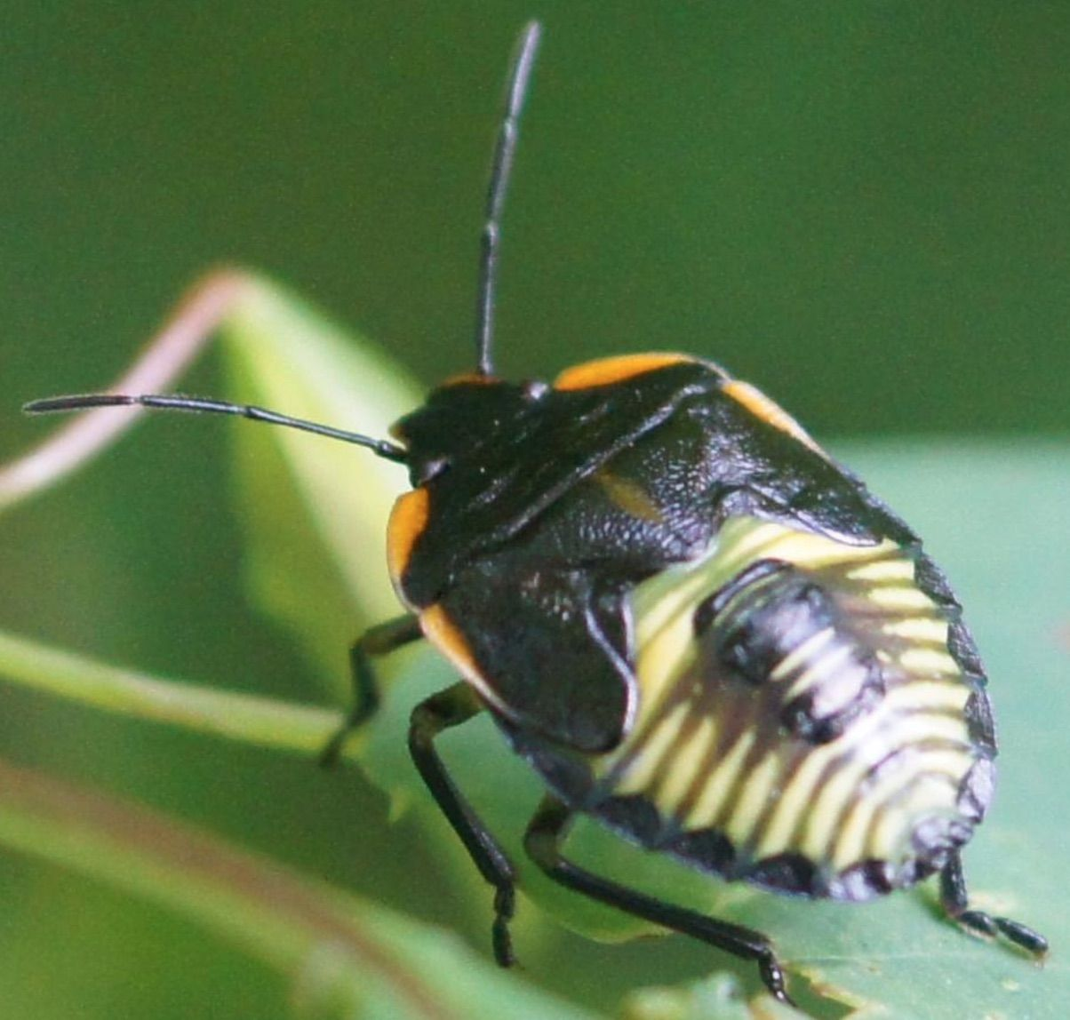 green stink bug (Chinavia hilaris) Insect identification