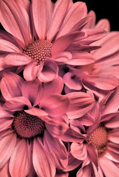 pink daisy bouquet by sara-satellite