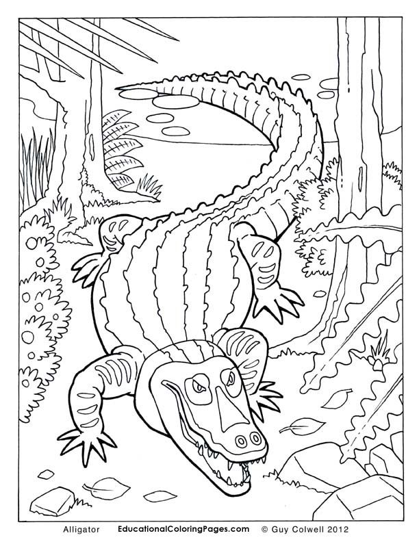 Alligator Coloring Pages Colouring