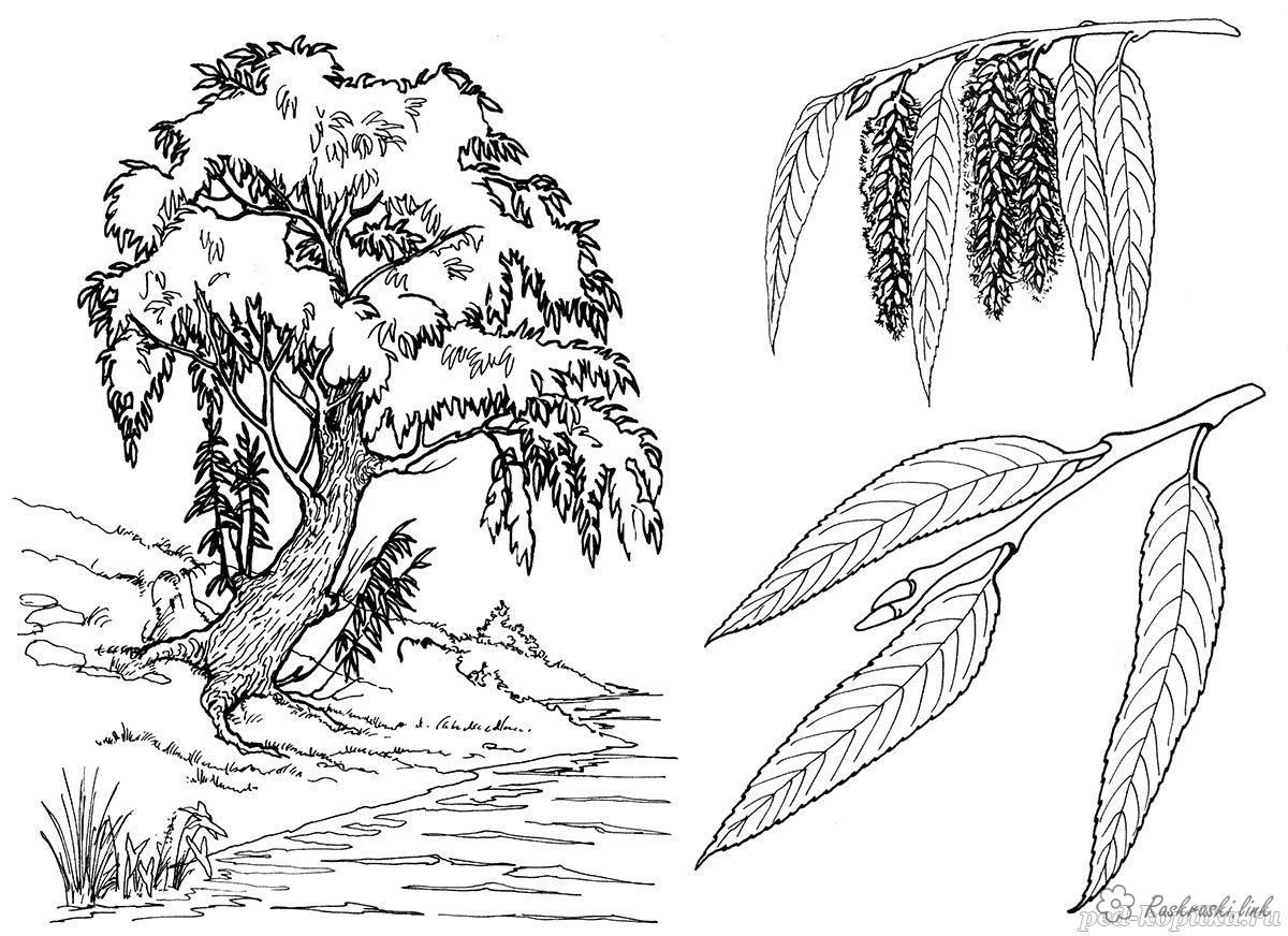Coloring Trees coloring pages willow, river, willow twigs, willow ...