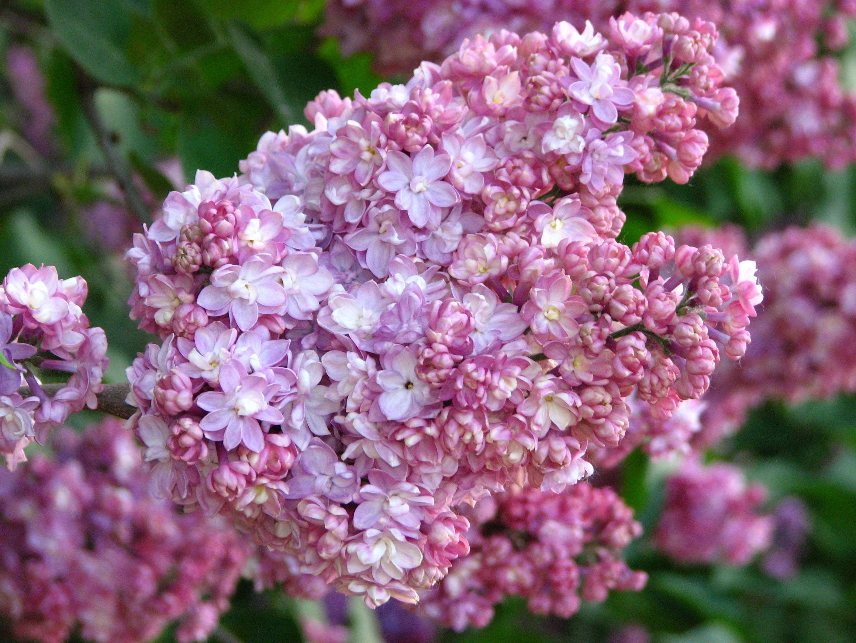 Syringa Pamyat O Vekhove 01 Syringa Wikipedia Syringa Lilac Tree Plants