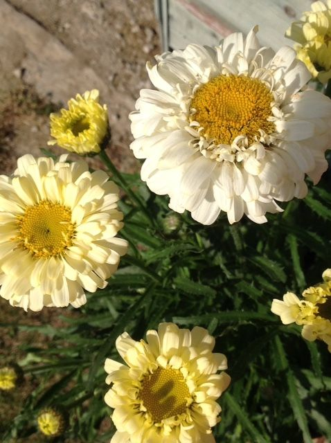 Sunshine yellow fades to cream with this double bloomer, www.purplepottingshed.com