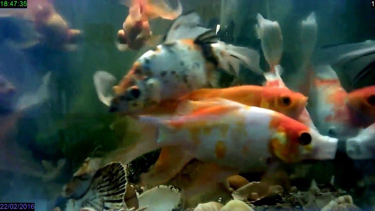 My Gold Fish Collection Edited Video Fish Tank Howto Make Design Aaquarium Saltwater Aquarium Beginner Saltwater Aquarium Setup Freshwater Aquarium Fish