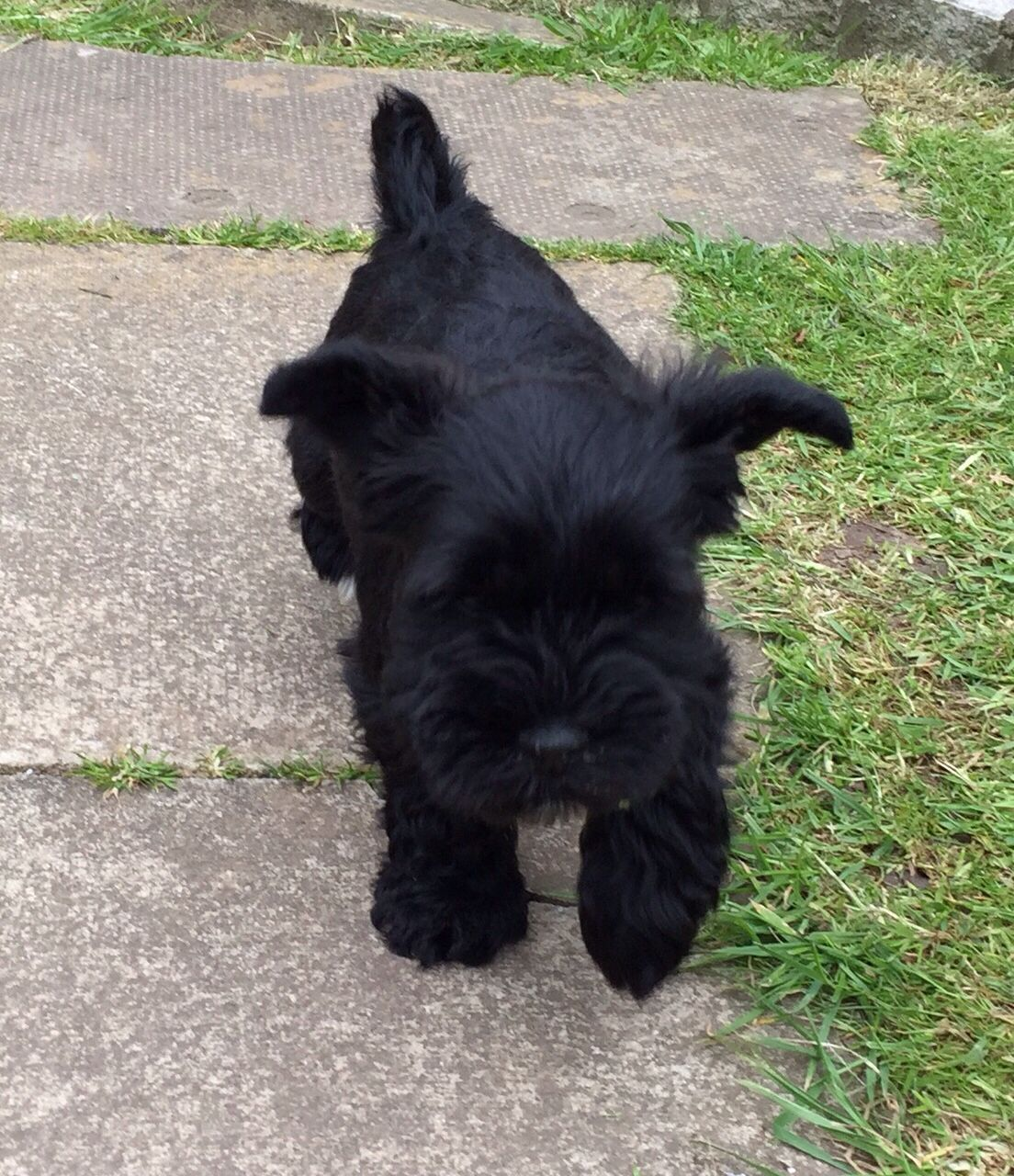 Our new addition. Ebby 8 week old mini schnauzer. Pinned ...
