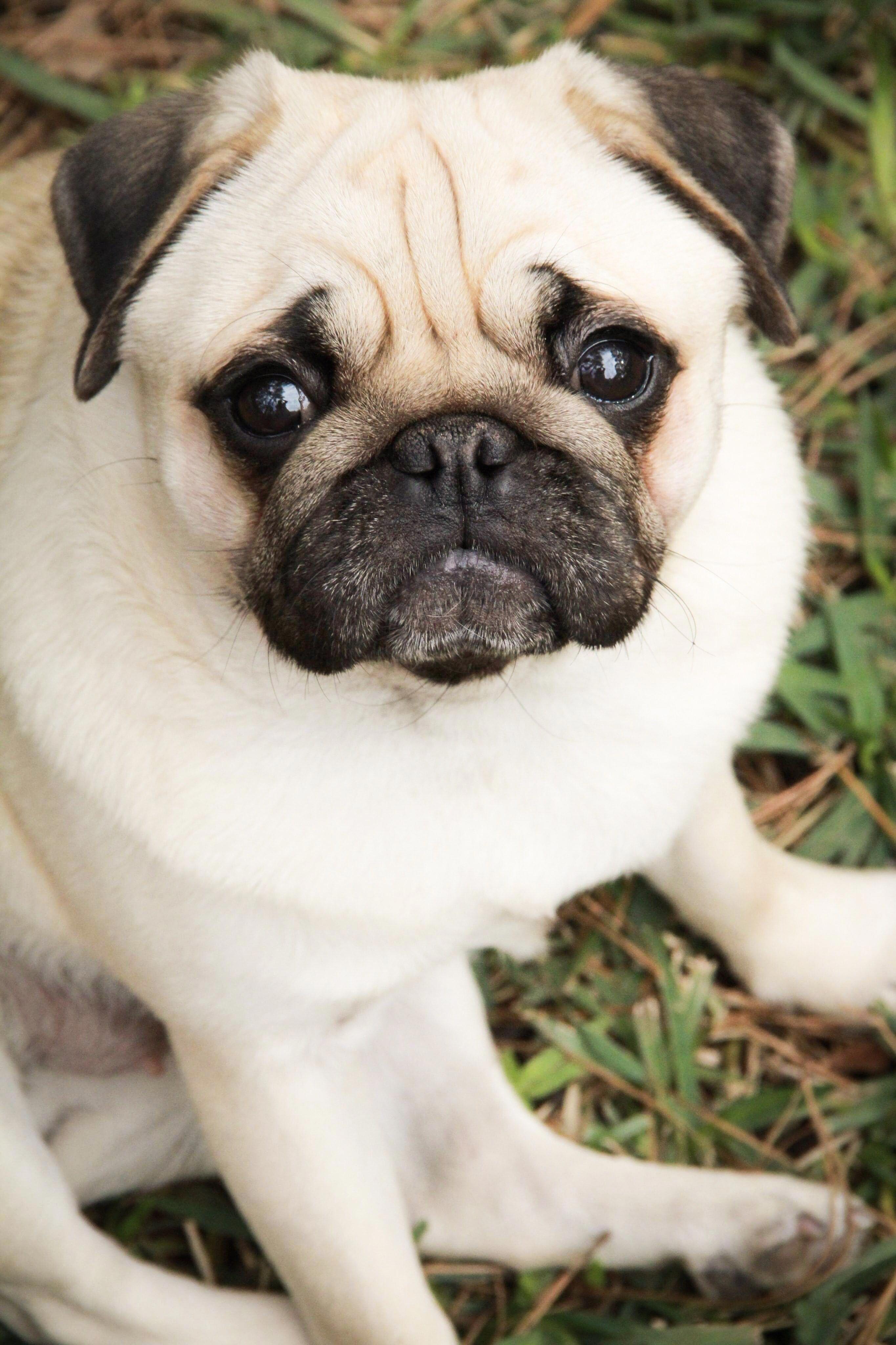 Everything About Cute Shih Tzu Puppy Temperament Shihtzusociety
