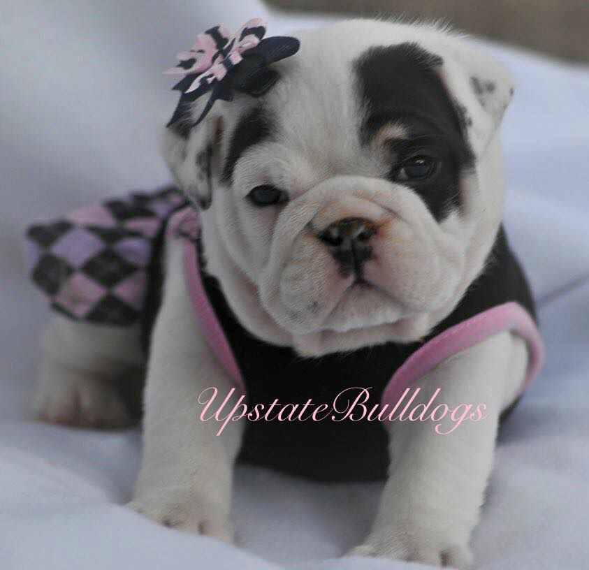Winter Bulldog Pup Ac English Bulldog Puppies Cute Animals