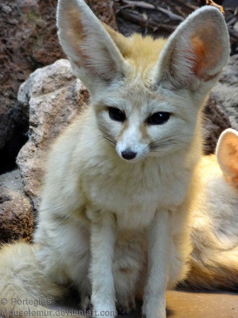 Pretty Finn Animals Wild Cute Animals Fennec Fox