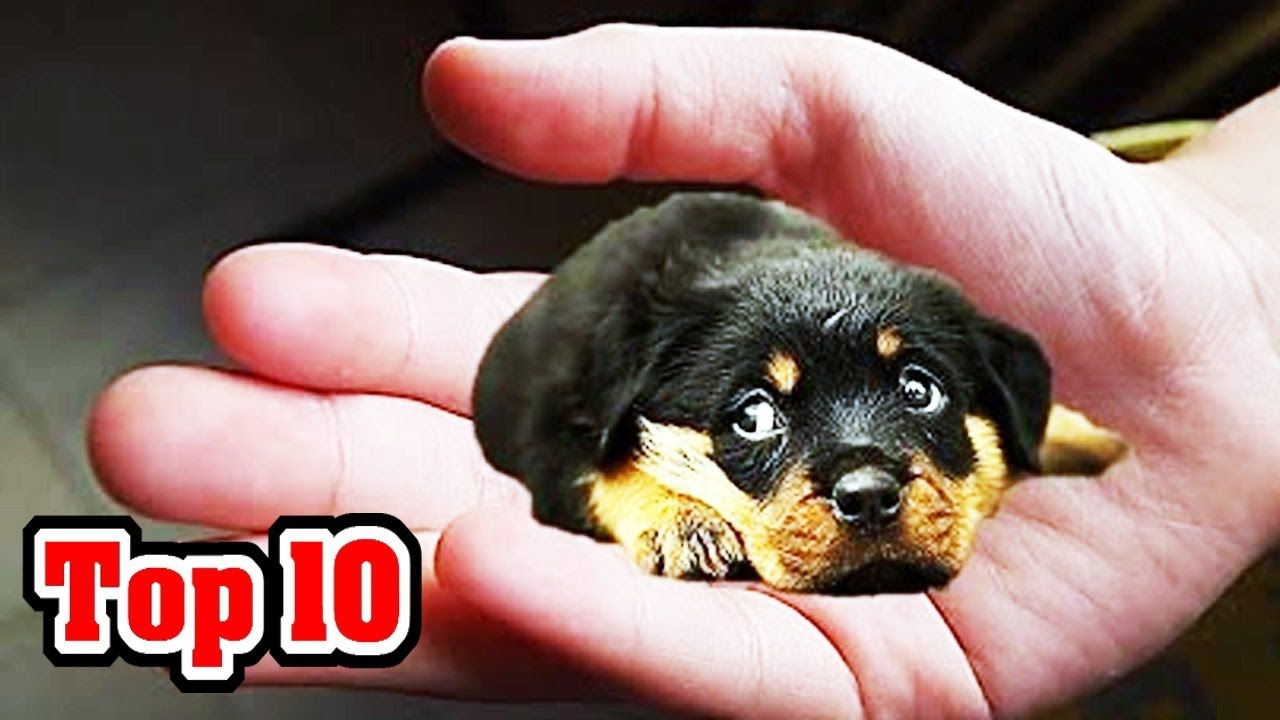 Top 10 Smallest Dog Breeds Youtube Dog Breeds Funny Dachshund