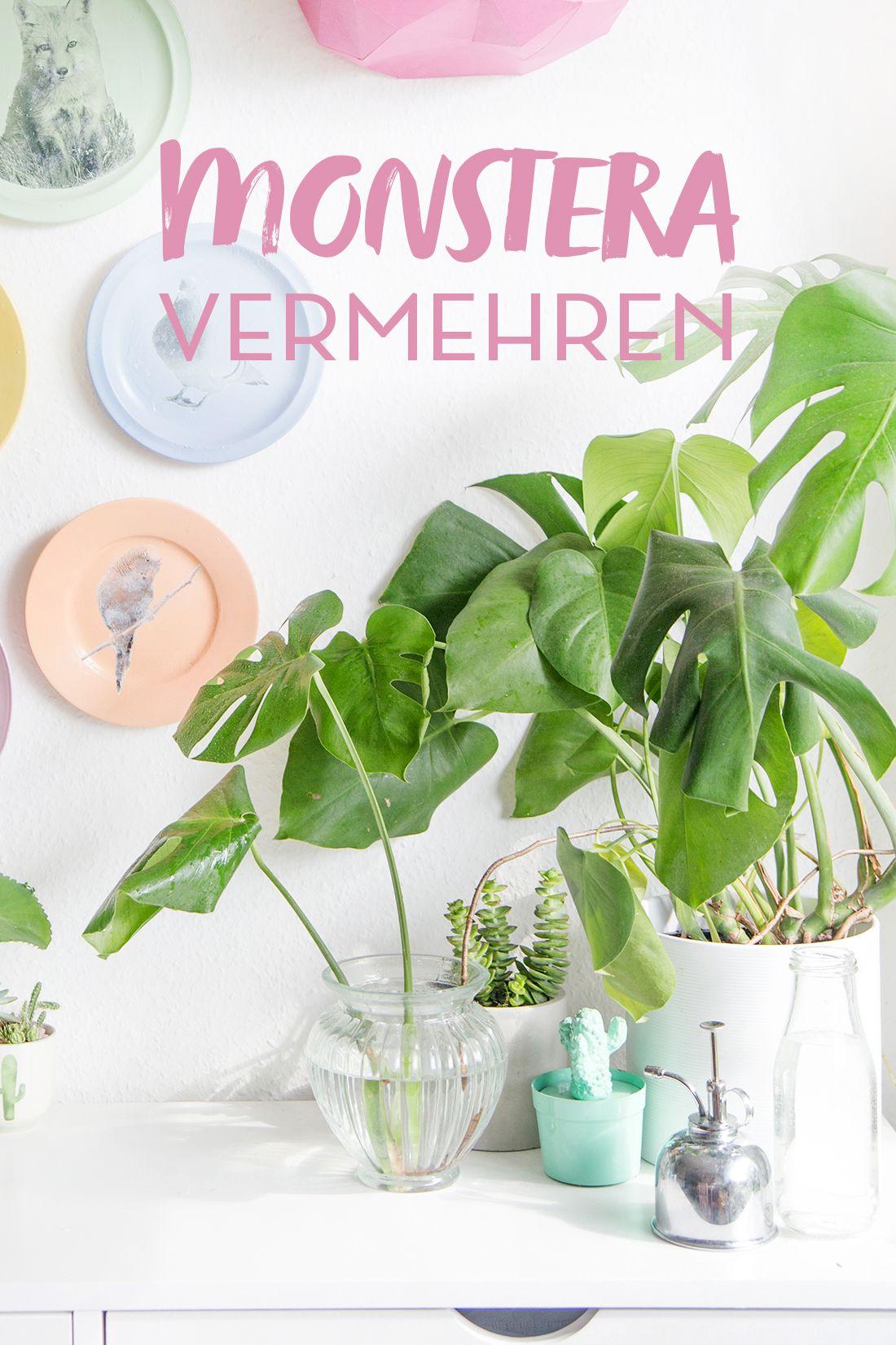 diy pflanzenliebe monstera vermehren garten balkon pflanzen monstera vermehren pflanzen. Black Bedroom Furniture Sets. Home Design Ideas