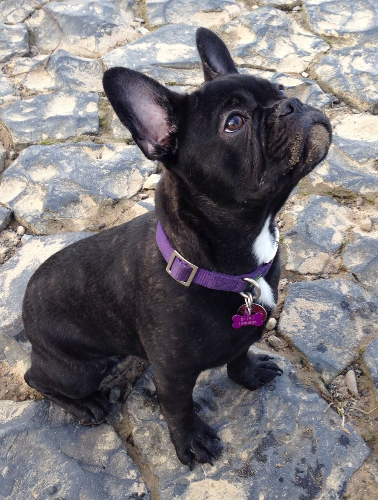 the dailyfrenchie frenchbulldogfullgrown ♥FWF♥ 23 BLACK