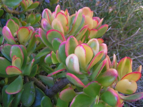 Crassula Ovata Hummel S Sunset Golden Variegated Jade Plant Unrooted Cuttings Jade Plant Care Jade Plants