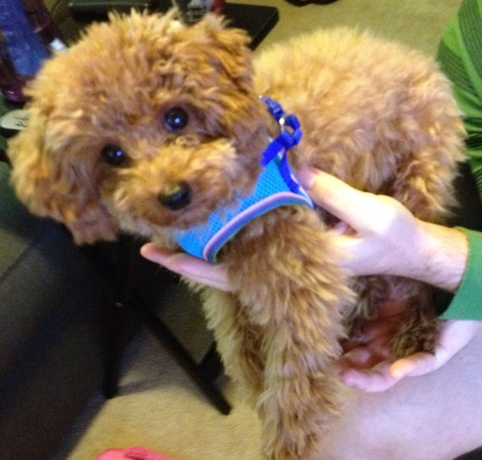 Alfie The Red Toy Poodle 6 Months Old Toy Poodle Red Poodles Poodle