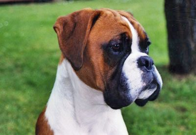 Glenauld Boxers Dog Kennels - Boxer Dogs - Show Dogs